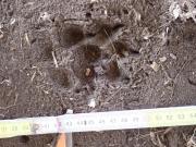 1_Marderhund_Schritt_FiF_2018-03-05__1__3_.JPG